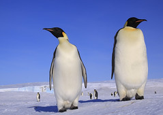 Giant Penguins (Anne Froehlich) Tags: snow nature birds penguin funny wildlife antarctica naturelovers emperorpenguin naturesfinest aptenodytesforsteri naturethroughthelens slbgrooming queenmaudland highqualityanimals