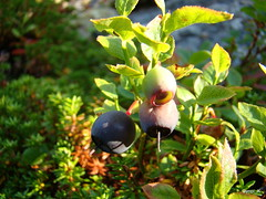 Blueberries (Gyopi_K) Tags: blue summer mountains water norway island heart troms sommary skjervy
