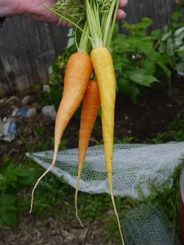 Carrot Taste Test