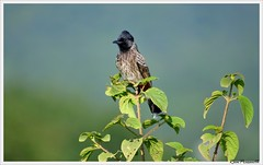 Red Vented Bulbul (FLASH MEDIA CREATIONS) Tags: red wild india bird birds advertising photography interesting nikon estate fashionphotography wildlife creative 300mm ram tamilnadu coimbatore designing bulbul professionalphotography foodphotography cbe productphotography fmc vented karanataka industrialphotography advertisingphotography ramprasanth jewelleryphotography photographycompany designinglogo hoonametti flashmediacreations productphotographyincoimbatore industrialphotographyincoimbatore professionalphotographysolutions photographyprintinglogo coimbatoreweb ramprasanthphotography
