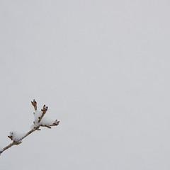 M_20101128_048 (Tygryziolek) Tags: white snow plant nature leaves leaf branch natura zen zima biel offshoot snieg roslina