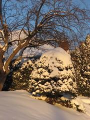 Golden (susanvg) Tags: snow bushes lowsun