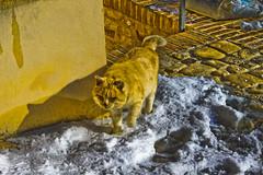 Carassai: Il gatto delle Nevi (Mariano Pallottini - Le Marche) Tags: cats animals villages castello medievale gatti animali rocca middleage smalltowns lemarche carassai laneve borghiditalia roccamontevarmine