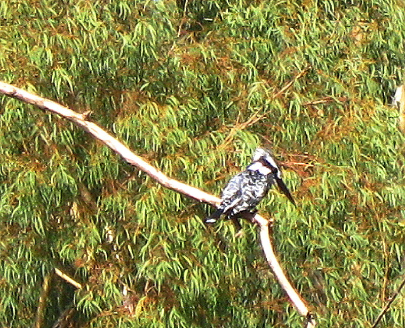 18-12-2010-pied-kingfisher