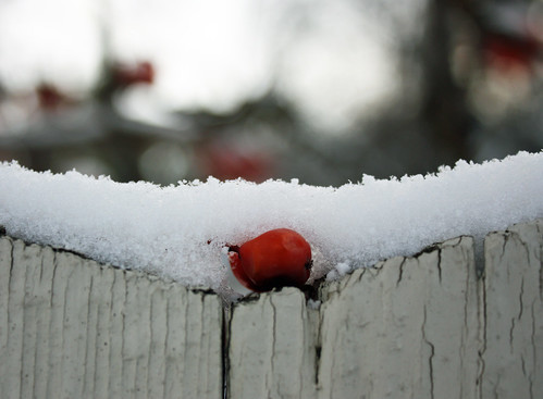 Mountain ash berry on snowy fence