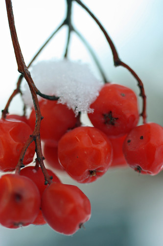 Mountain ash berries with snow
