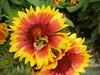 Abella sobre una flor d'Anglaterra
