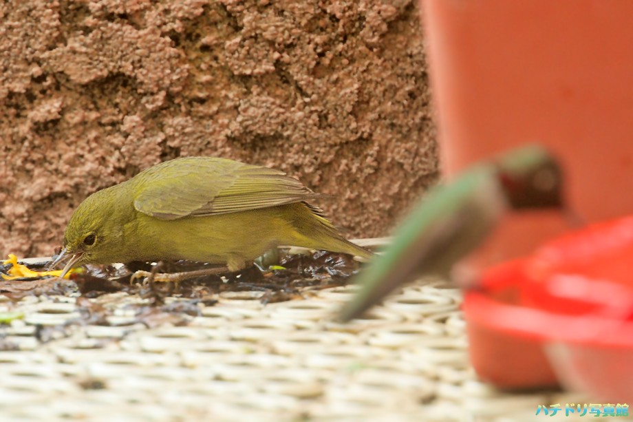 Anna's Hummingbird 122010
