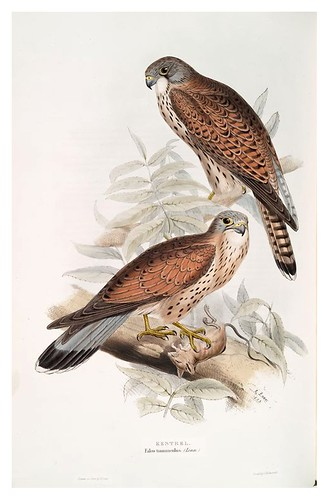 010-Cernicalo- The birds of Europe Tomo I-1837- John Gould