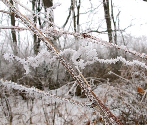 frozen grape vine