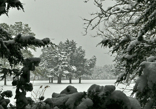 Snow on Cedars (4)