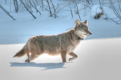 Canis latrans, Coyote (vidular) Tags: coyote winter wild nature animal illinois nikon december animalplanet wetland frozenpond lightroom coyotes naturepix d90 canislatrans eartags radiocollar nikon80400f4556afvr trackingcollar radiolocation wintercoyote wildlifetracking taggedcoyote taggedwildlife suburbanchicagoarea coyotetag coyotetracking coyotesnow