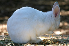 Rabbit - 06 (Kabacchi) Tags: rabbit animal mammalia       ~rabbit~