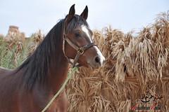 بورتريه (Abduarhman khaild - عبدالرحمن خالد) Tags: horses horse حصان خيل احصنه خيول