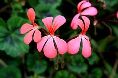 @ Mount Kenya (gabi_pix) Tags: pink flower macro beauty kenya mount qunia