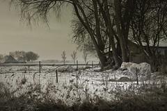 Horse in the snow (Pieter Musterd) Tags: schnee trees winter horse snow tree ice canon landscape cheval eos bomen raw sneeuw shed boom arbres 5d groningen arbre pferd landschap paard ijs boerderij winterlandscape schuur winterlandschap hooi provinciegroningen thogeland canoneos5dmarkii pietermusterd 5dmarkii