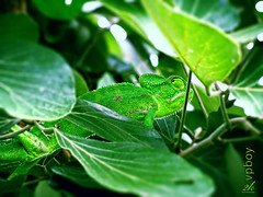 In it to win it... (2k Photography) Tags: green nature leaves photoshop dof bokeh reptile tail camouflage processing chameleon vikas 2k prehensile ~2|{~ pushpdeeppandey vpboy pethiya