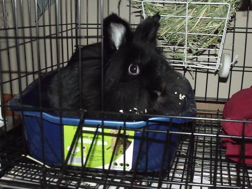 Luxie Bunny