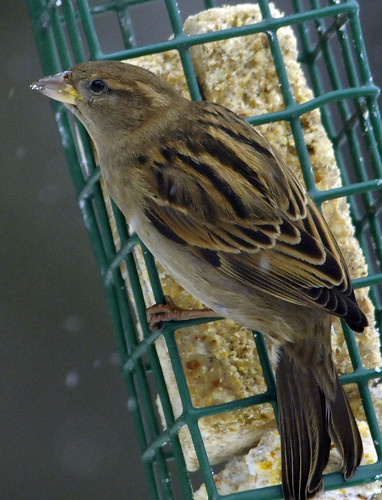 Suet Snow Female Sparrow