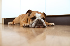 Tough Day [Explored] (Oh beautiful world.) Tags: sleeping dog cute animals bulldog englishbulldog ohbeautifulworld treesje hannekevollbehr