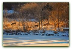 ...visitors... (DonnazMagicalPix) Tags: winter deer tqm deerherd natureplus