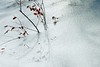 Glaze (MilkaWay) Tags: winter snow ice leaves georgia landscaping smithstreet athens glaze uga shrub twigs southcampus universityofgeorgia clarkecounty