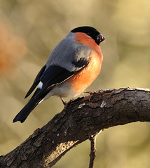 Male Bullfinch Eating Leaf Buds (earlyalan90 away awhile) Tags: ngc naturesfinest abigfave natureselegantshots panoramafotogrfico theoriginalgoldseal