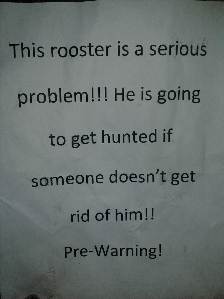 This rooster is a serious problem!!! He is going to get hunted if someone doesn't get rid of him!! Pre-Warning!