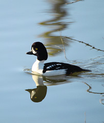 Barrows Goldeneye Duck (ETaddei) Tags: white canada black duck columbia british barrowsgoldeneye toadriver