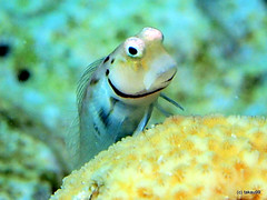 Maldives blenny - Maldives (_takau99) Tags: trip travel fish macro topv111 pen topv555 underwater topv1111 january diving olympus topv222 scubadiving maldives housereef blenny 2011 minutus eriyadu northmaleatoll takau99 penlite eurodivers ecsenius epl1 maldivesblenny ecseniusminutus gettyimagesjapanq1