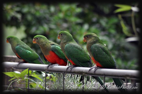 Family of Australian King Parrots