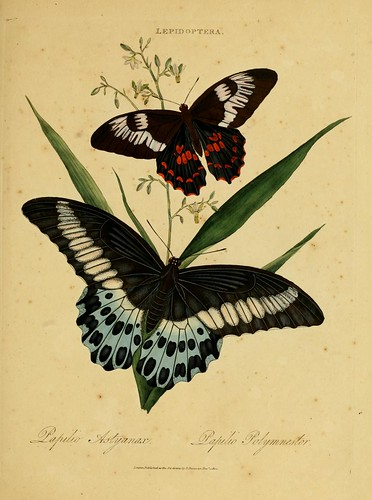 017-Papilio Polymnestor- An epitome of the natural history of the insects of India…1800- Edward Donovan