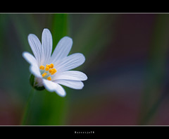 Proud .. .. .. .. .. (Borretje76) Tags: white flower macro green netherlands dutch up yellow closeup iso100 dof close bokeh sony sigma geel wit bloem f35 180mm bloempje microworld gupr borretje76 dslra580
