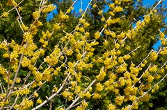 The First Real Flower of Spring (Distant Hill Gardens) Tags: spring shrub budding hamamelis witchhazel earlyspring signsofspring floweringshrub springcolor hamamelisvernalis springbloom ozarkwitchhazel vernalwitchhazel springfloweringshrub springbloomingshrub fspp