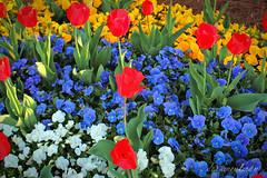 Spring Color Explosion (dorameulman) Tags: flowers color floral landscape us spring northcarolina inmybackyard humpday gastonia dorameulman