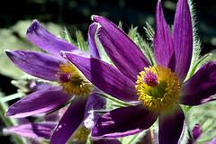 Easter in the Alpine (Eddie C3) Tags: newyorkcity flowers bronx pasqueflower newyorkbotanicalgarden pulsatilla pulsatillavulgaris alpinerockgarden