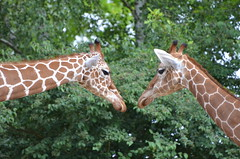 Duo (dfromonteil) Tags: girafe animal nature duo mirror miroir look regard eye yeux vert green bokeh marron brown