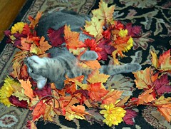Kitty in the Autumn Leaves (Annie's Birds & Other Cool Stuff!) Tags: cat greycat graycat halloween autumnleaves halloweendecorations october