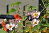 friday flower fence (nirak68) Tags: lübeck schleswigholsteinkreisfreiehansestadtlübeck deutschland ger 259366 japanischeanemone herbstanemone anemonehupehensis hahnenfusgewächs ranunculaceae zierpflanze thimbleweed windflower essbar orange kapuzinerkresse tropaeolaceae kapuzinerkressengewächs tropaeolum kreuzblütlerartigen brassicales nasturtium vorgarten zaun fence spätsommer 2016ckarinslinsede hff