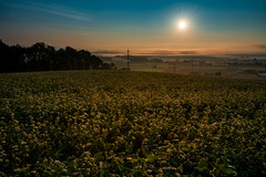 mauthausen-osten-sunrise-1622-3 (Ralph Punkenhofer) Tags: dunst frhnebel herbst herbstmorgen mauthausen mist osten sunrise landscape landschaftsfotografie photography nature outdoor field blue sky orange light autumn