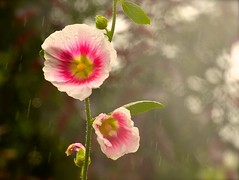 Flowers in the Rain (Edinburgh Photography) Tags: nature outdoors pink flowers plants waterofleith nikon d7000