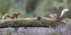 Scotland (richard.mcmanus.) Tags: scotland black isle jamesmoore redsquirrel squirrel britishwildlife mcmanus wildlife