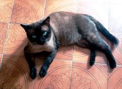 TOBY SIAMES DE OJOS AZULES (Dyanaydyth) Tags: cats chat gatos gatto gatitos siameses ojos azules bebe