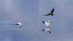 Eagle Flies Over Landing Pelican (smfmi) Tags: whitingoverlookpark eagle baldeagle birdinflight eagleinflight flyingeagle americanwhitepelican americanwhitepelicans frohm michigan midlandcounty justpentax pentaxlife pentax ks2 pentaxks2