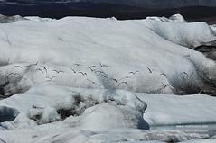 The Glacial lagoon shs_n2_068296 (Stefnisson) Tags: bird ice birds iceland glacier arctic iceberg gletscher fugl glaciar tern sland icebergs jokulsarlon breen jkulsrln kra ghiacciaio vatnajkull jkull sterna s gletsjer kria paradisaea fuglar ln  glacir sjaki sjakar stefnisson