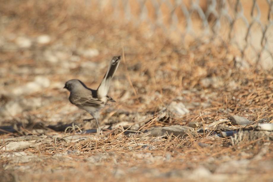 Sage Sparrow 11101-7