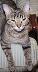 Sassy Rests In Satisfaction! (silverbox2: Willow Is Purring) Tags: pet cat chair sassy tabby satisfaction tabbycats fotocats kissablekats bestofcats allcatsallowed allcatsnopeople siamesecatsandtheirfelinebrothers exquisitepets intensosanimales intenseanimals