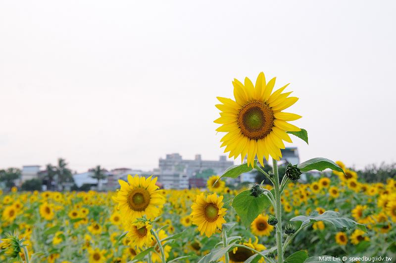 大寮花海 (6).jpg