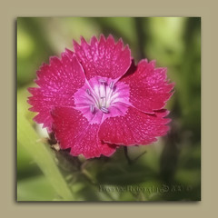 So deliciously pink.  (Flower Series) (in eva vae) Tags: pink flower macro green nature colors closeup canon petals eva dof blossom bokeh framed easy simple pure squared geranio dianthuschinensis digitalcameraclub pistilli wonderfulworldofflowers inevavae inevavaephotography2010©
