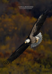 Fall Eagle (Chris Wofford) Tags: chris wild brown bird art nature beautiful beauty birds america canon fly flying wings fishing md eyes dof natural eagle feeding bokeh dam wildlife flight baldeagle feathers bald award maryland national american raptor 7d catch fowl usm 500mm majestic eagles ef f4 mothernature geographic birdsofprey whitetail naturally 2010 nationalgeographic watcher feathery birdwatcher conowingo 14x wofford conowingodam closetonature 700mm specanimal avianexcellence bokehs chriswofford